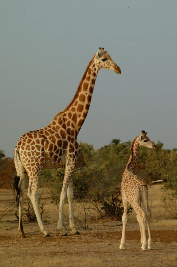 The West African Giraffe is the most endangered species of giraffe | Giraffa