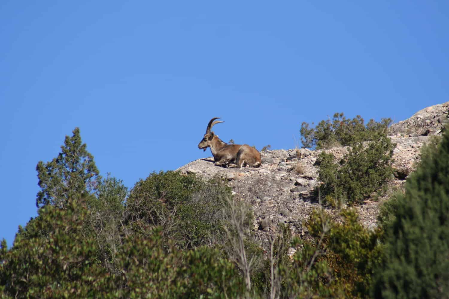 Goat on a mountain | Giraffa