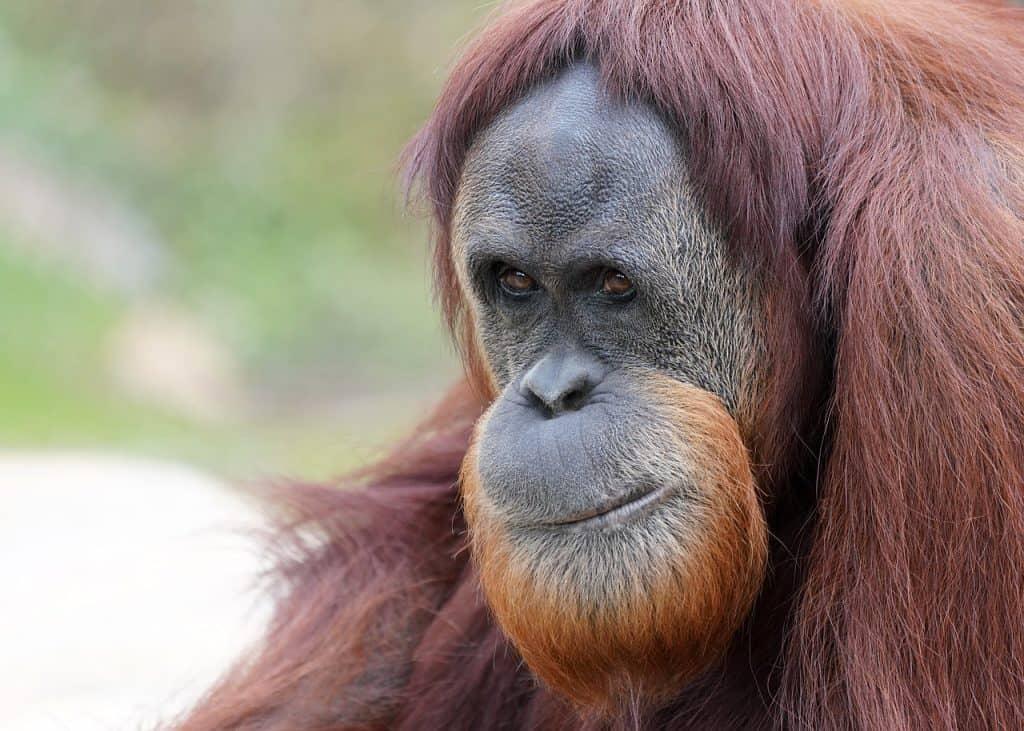 Female Sumatran Orangutan | Giraffa
