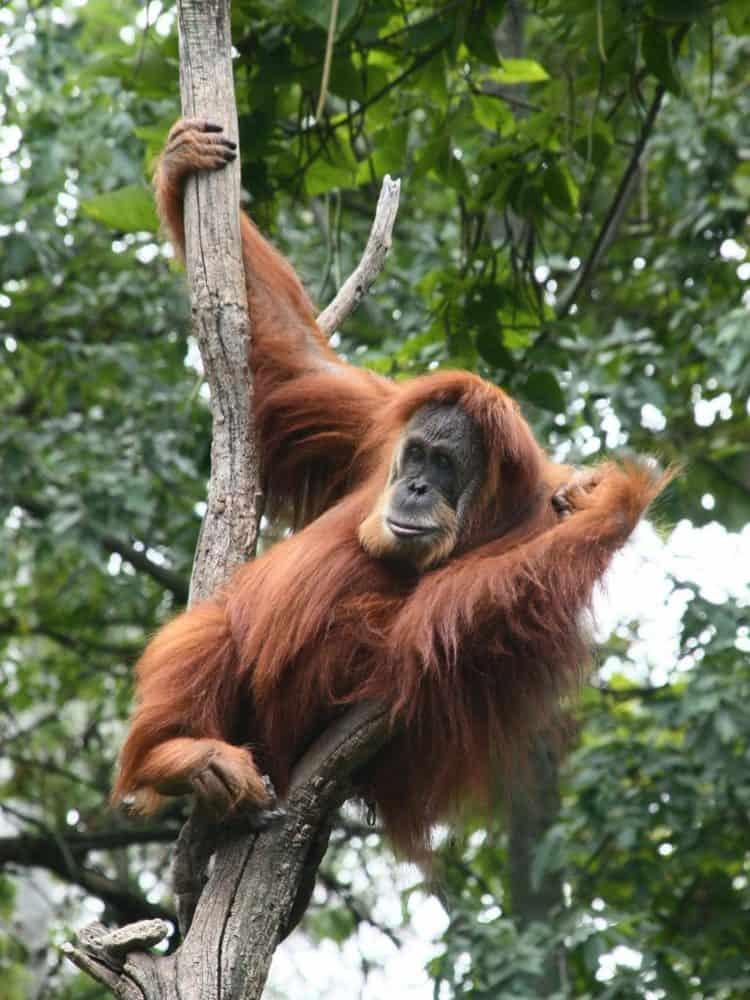 Sumatran Orangutan hanging in a tree | Giraffa