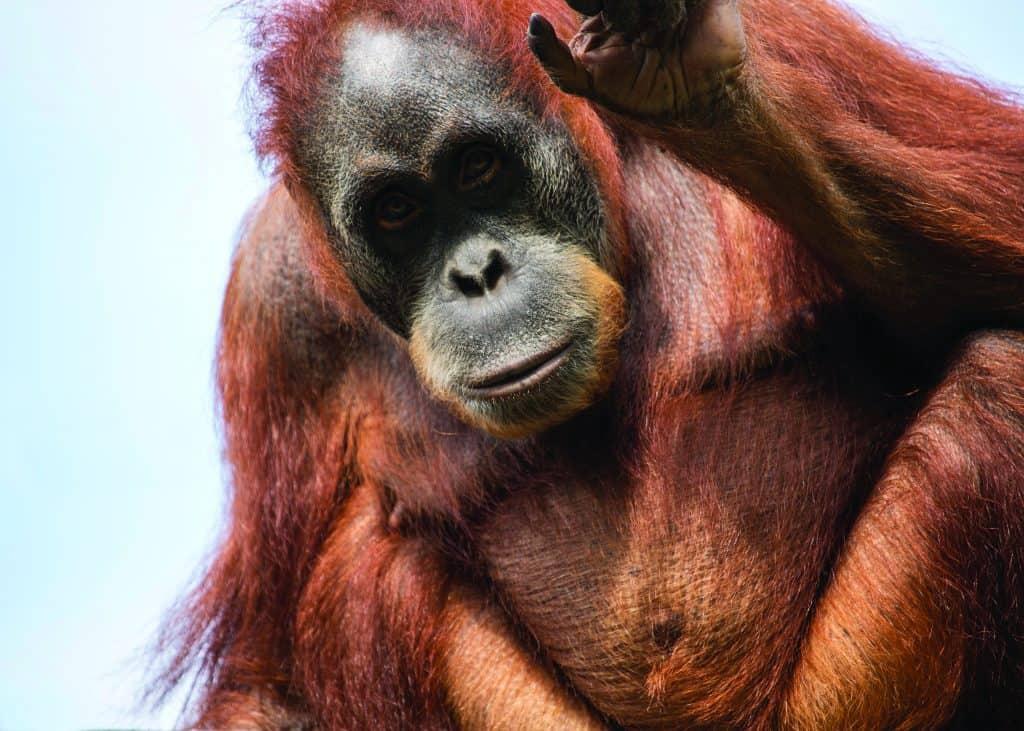 Sumatran Orangutan | Giraffa