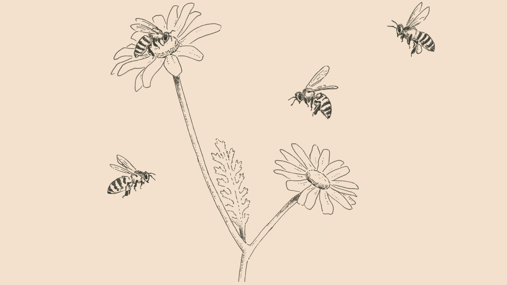 Teide Daisy and Canary Black Bee illustration | Giraffa