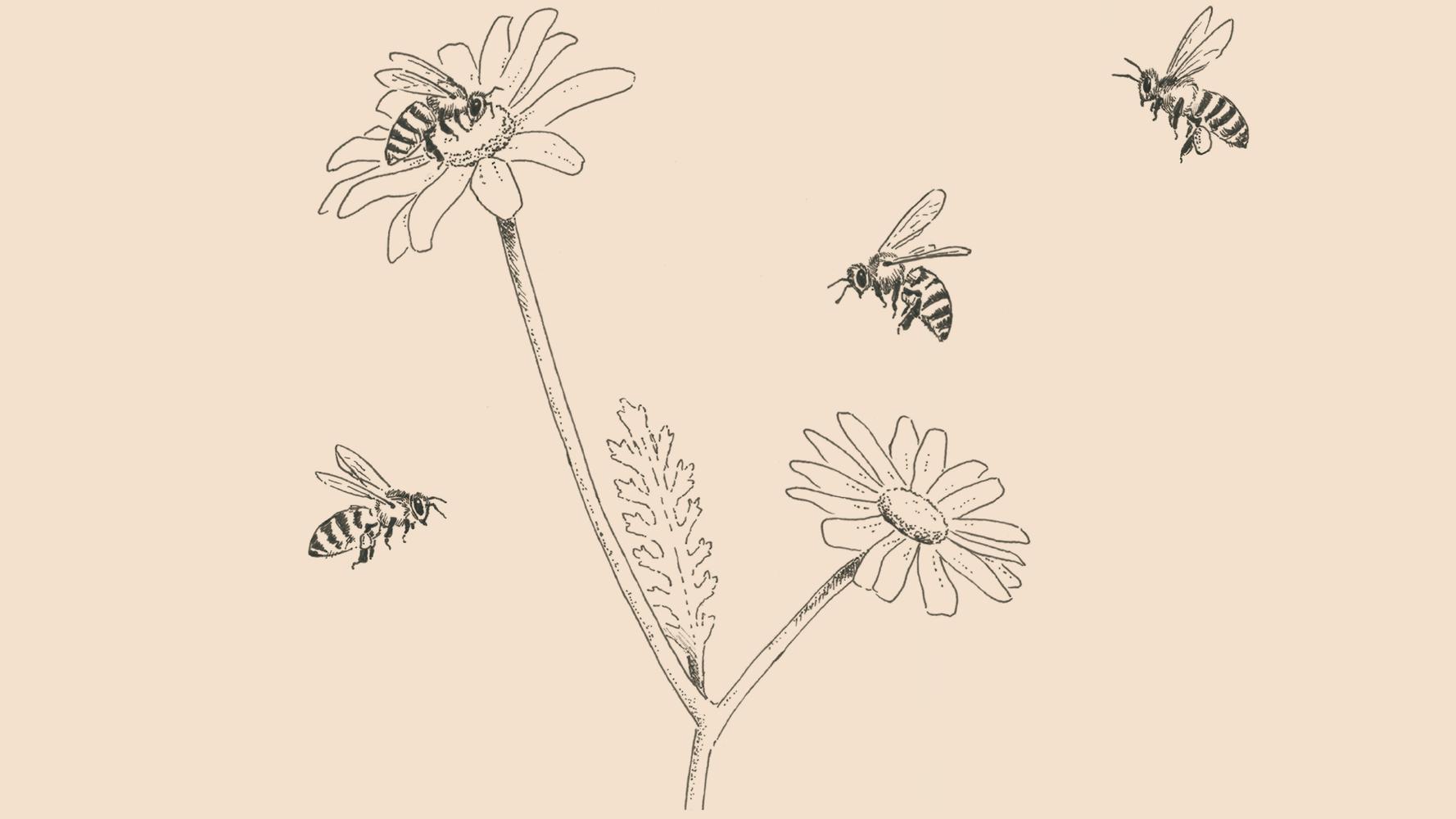 Teide Daisy and Canary Black Bee illustration | Giraffa