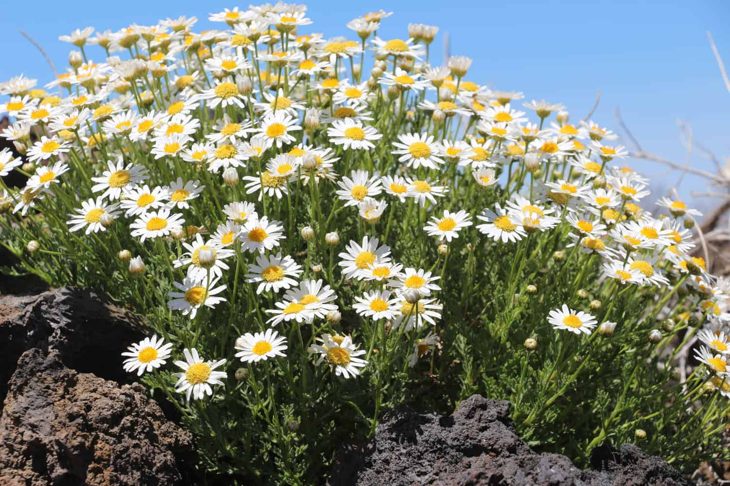 Teide Daisy in the lava beside the road | Giraffa