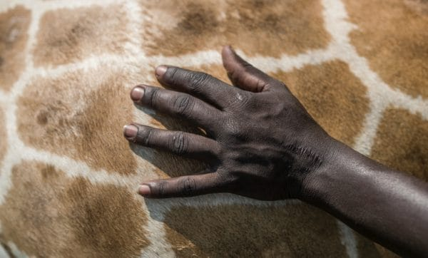 A hand touching the skin of a giraffe | Giraffa
