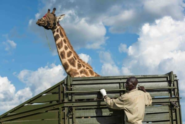 Operation Twiga II to save the Nubian Giraffe | Giraffa